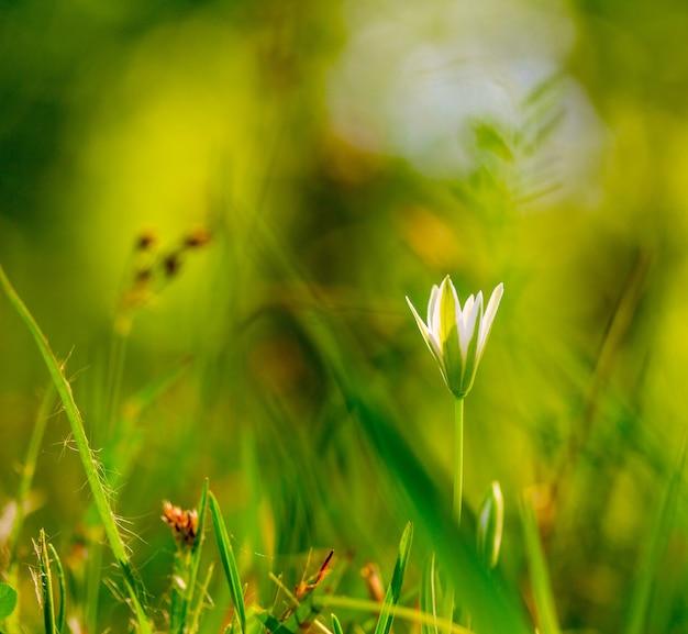 屋外のクローズアップマクロの緑の草の上に小さな白い花。春夏フローラル