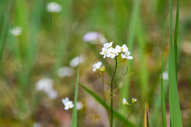 Small white flower in spring field