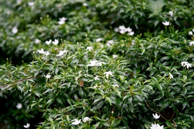 Small white flowers on bush in garden