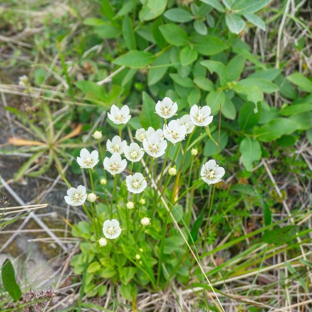 夏のツンドラの小さな白い花