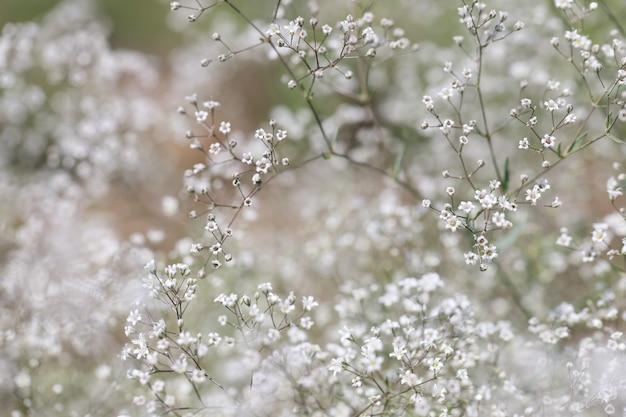 들판 야생화 개념에 꽃잎이 있는 석고소필라의 작은 흰색 꽃