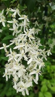 夏の庭のクローズアップでクレマチスrectaまたはクレマチスflammulaまたはクレマチス満州の小さな白い香りのよい花。花のような自然の背景。