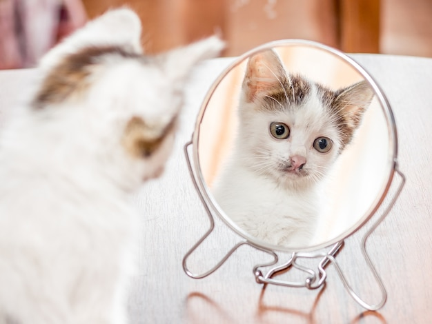 A small white kitten looks in a round mirror and admires his beauty_