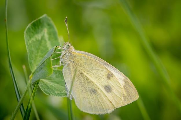 정원에서 레드 클로버에 작은 흰색 또는 양배추 흰 나비