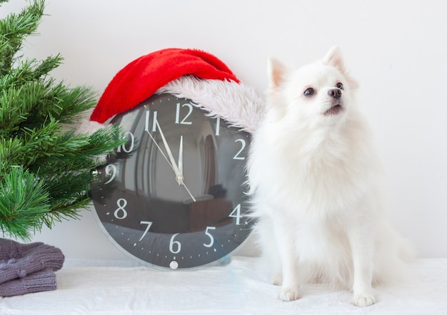 A small white pomeranian dog next to a clock in a santa claus hat