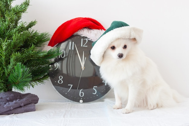 A small white pomeranian dog in an elf hat next to a clock in a santa claus hat