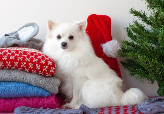 A small white pomeranian dog is sitting next to a stack of christmas sweaters.