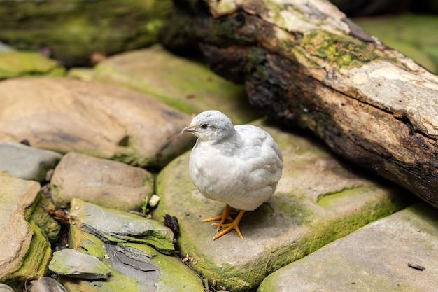 Маленькая белая птица перепела на открытом воздухе