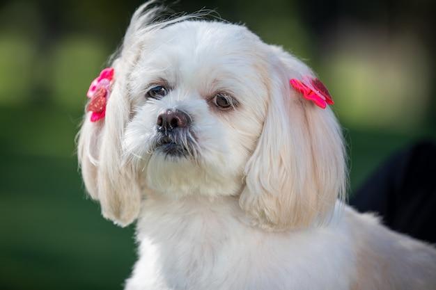 頭飾りを身に着けている小さな白いシーズー犬