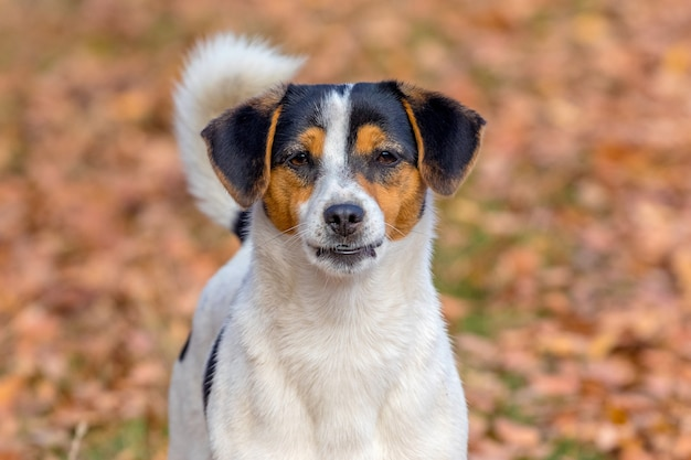 Small white spotted dog on a background of autumn leaves, portrait of a dog