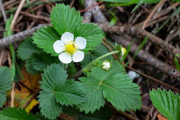 春の森の茂みに小さな白いイチゴの花