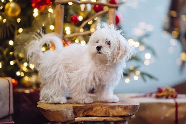 크리스마스 트리 배경에 작은 흰색 테리어.