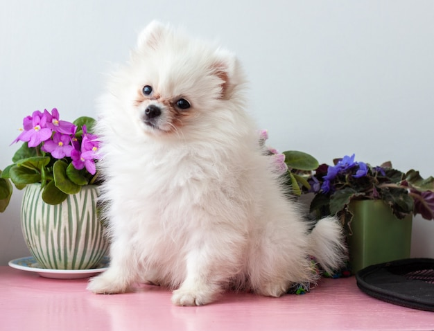 A small white two-month-old pomeranian puppy sits on a white background next to violets flowers, raised his head up.