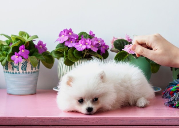 A small white two-month-old sad pomeranian puppy lies on a white background next to violets, a hand reaches out to stroke it.