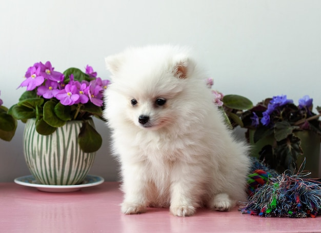 A small white two months old pomeranian puppy sits close up on a white background next to violets.