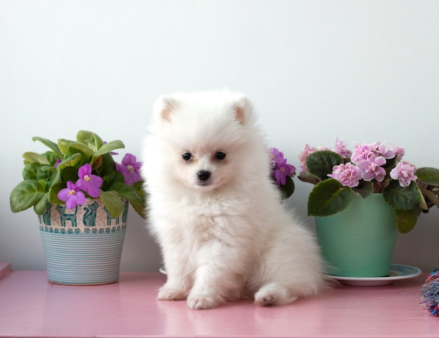 A small white two months old pomeranian puppy sits on a white background next to violets.