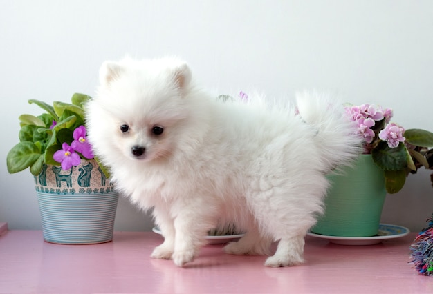 A small white two months old pomeranian puppy stands sideways to the camera on a white background next to violets.