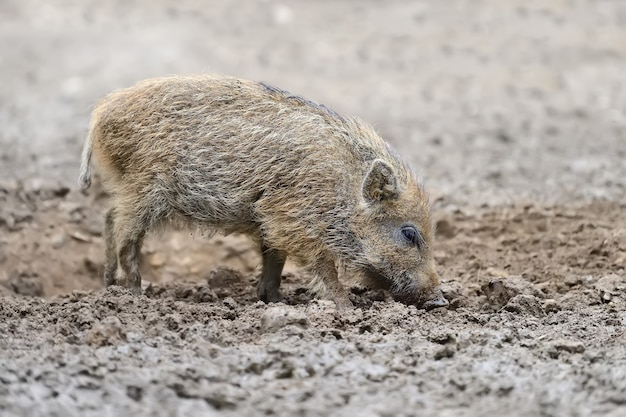 Small wild boar in the forest in the springtime