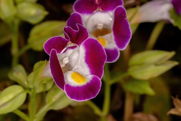 Маленький цветок с поперечными костями из рода torenia