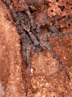 Small wolf spider of the family lycosidae