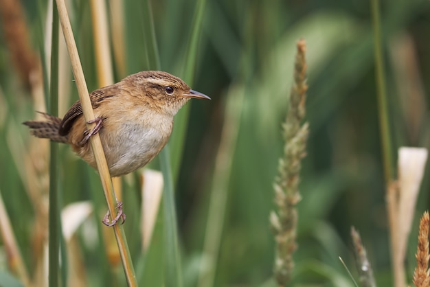 Small wren perched on grass spikes