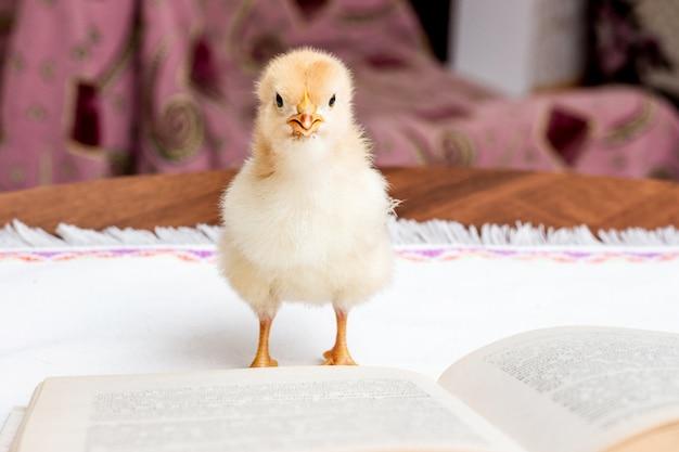 開いた本の近くの小さな黄色のチキン