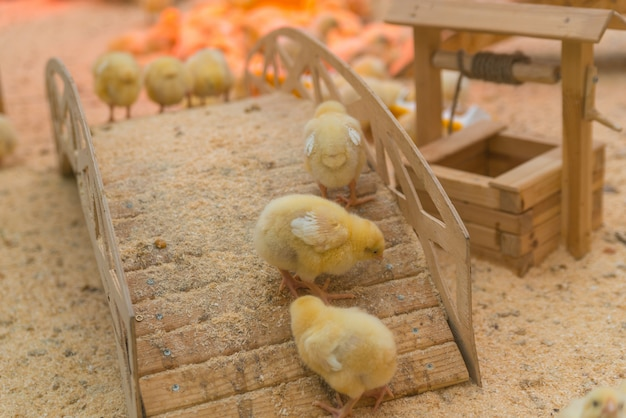 Small yellow chickens are basking in the farm