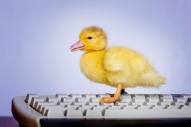 A small yellow duck on the computer keyboard. work in the office at the computer_