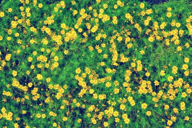 Small yellow flower blooming, spring nature top view