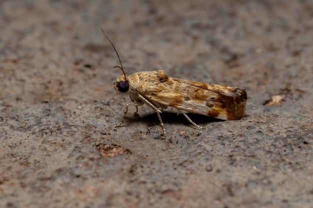 アコンティニー族の小さな黄色い蛾