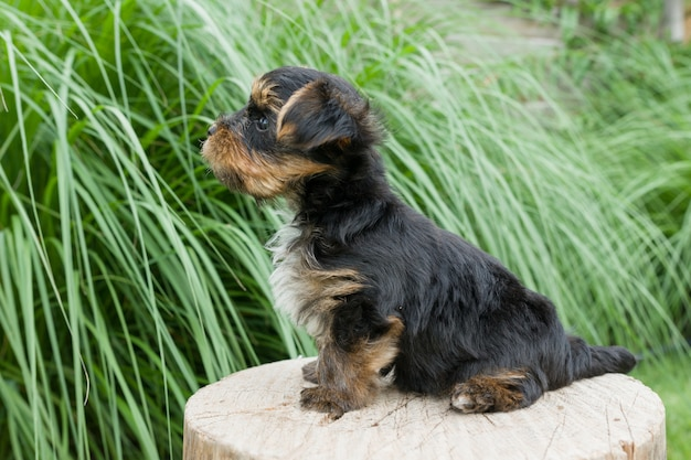 Small yorkshire terrier puppy in the nature
