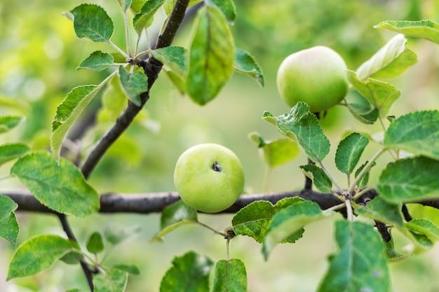 Маленькие молодые яблоки, растущие на дереве