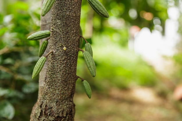 Small young cocoa pod  on cacao tree