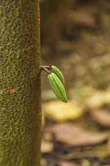 カカオの木の小さな若いカカオポッド