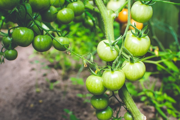 Small young fresh tomatoes growing on a branch in greenhouse on a tomatoes plantation. natural organic food background