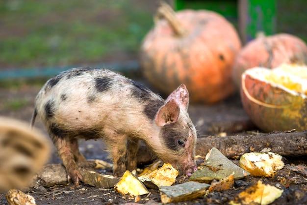 大きなカボチャの山の上の日当たりの良い農場で屋外に餌をやる小さな若い面白い汚いピンクと黒豚の子豚。種まき農業、自然食品生産。