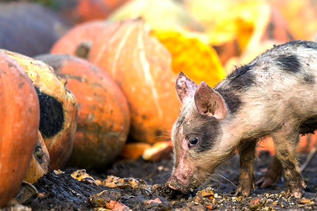 Small young funny dirty pink and black pig piglet feeding outdoors on sunny farmyard of pile of big pumpkins. sow farming, natural food production.