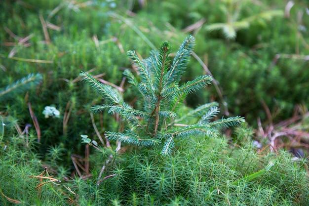 小さな若い緑のトウヒ松の木の植物の針の切り株の森の森の苔。クリスマスにはモミの木が生えます。