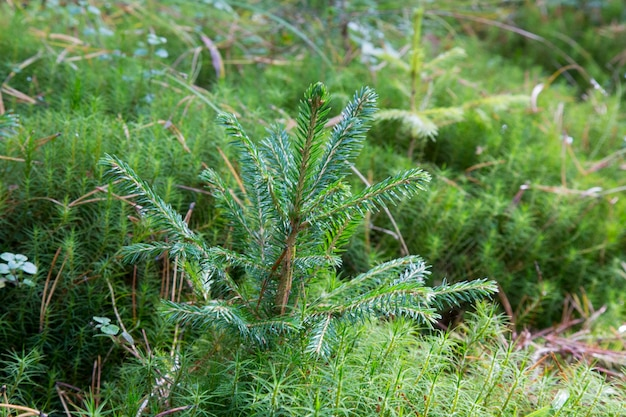 Small young green spruce pine tree plant needle stump forest woods moss. a fir tree grows for christmas.