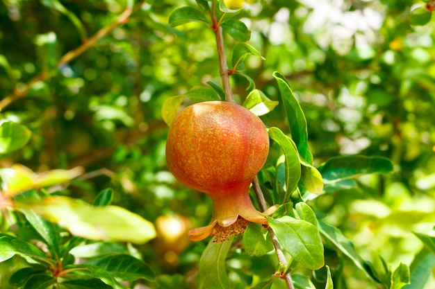 Small young pomegranate in the garden against the background of green leaves