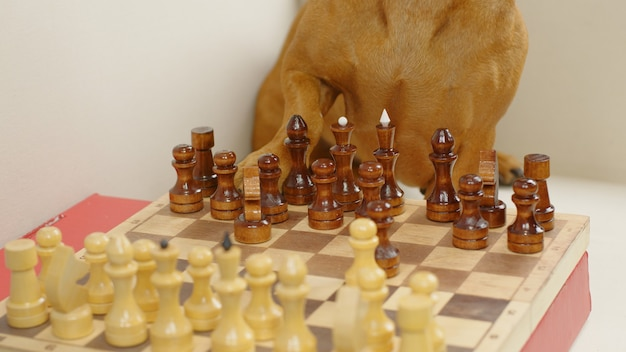 Smart dachshund playing chess legs of trained dog on the chess board