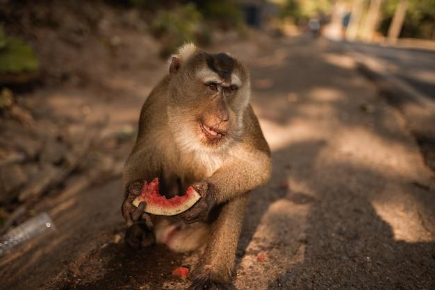 スマート赤毛猿は地面に座ってジューシーなスイカを食べる