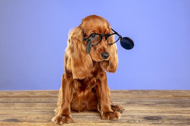 Intelligente e unico. il giovane cane di cocker spaniel inglese sta posando gli occhiali da sole di n.