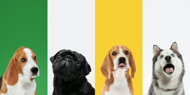 맛있는 냄새가 난다. 세련된 사랑스러운 강아지들이 포즈를 취하고 있습니다. 귀여운 강아지나 애완동물은 행복합니다. 다른 순종 강아지. 여러 가지 빛깔의 스튜디오 배경에 고립 된 크리에이 티브 콜라주입니다. 전면보기. 다른 품종. 프리미엄 사진