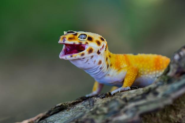 Смайлик желтый леопардовый геккон на ветке дерева в тропическом лесу