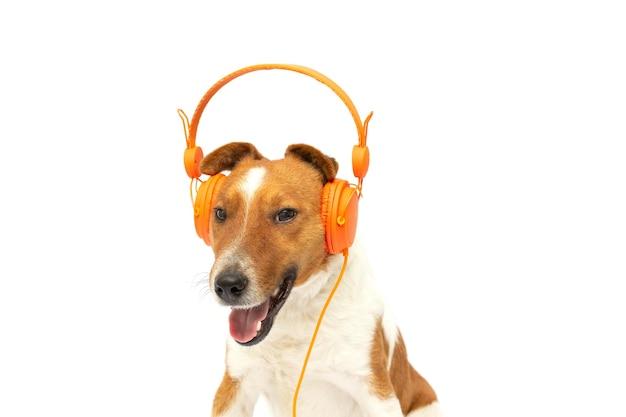 白い背景にオレンジ色のヘッドフォンで音楽を聴いている笑顔の茶色と白のフォックス テリア犬
