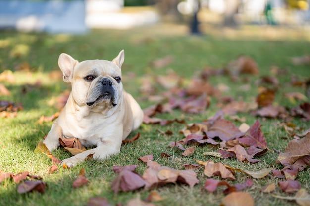 Smiling dog lying on fall leaves in garden.
