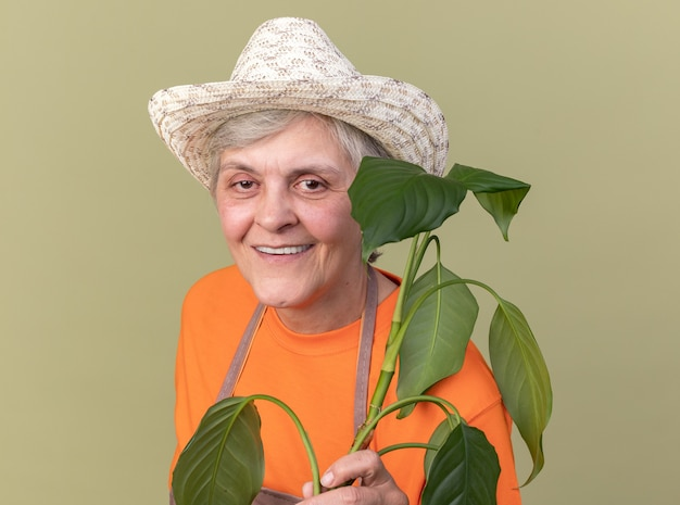 Smiling elderly female gardener wearing gardening hat holding plant branch  isolated on olive green wall with copy space