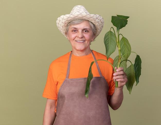 コピースペースとオリーブグリーンの壁に分離された植物の枝を保持しているガーデニング帽子をかぶって笑顔の年配の女性の庭師