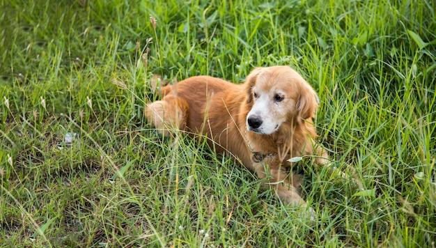 Улыбающаяся золотая собака на зеленой траве